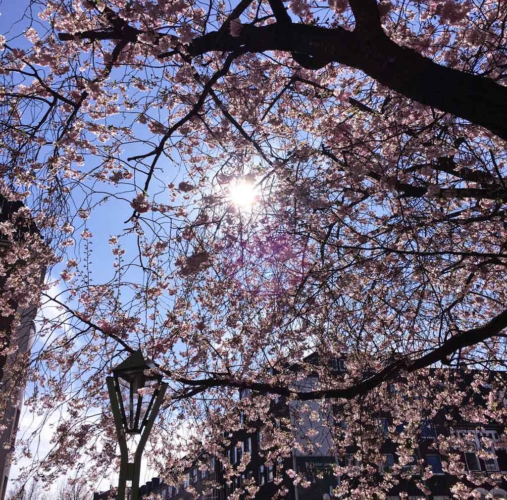 Kirschblüten Baum Essen